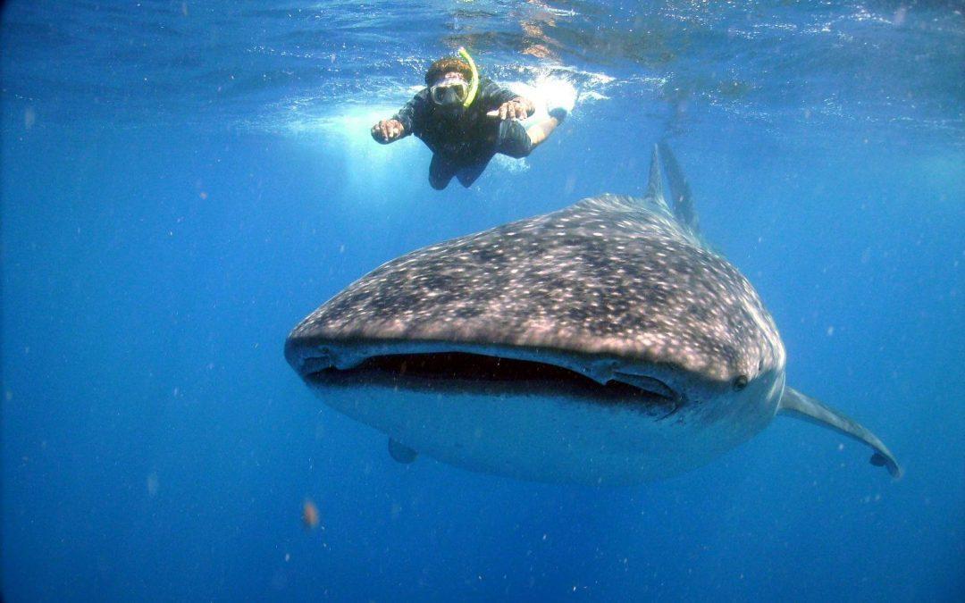 Kasakatxan  2016  11  01.  Tiburones  ballena  en  Islas  Mujeres,  México    /  Conciertos  en  penales  y  cantinas  por  Perú,  Ecuador  y  Colombia  con  El  Toubab