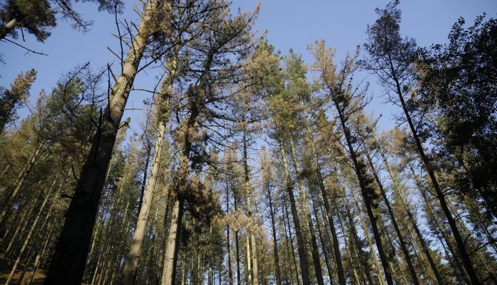 Donde hubo fuego… Invasión de pinos